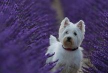 Lavender and Dogs / Discerning dog owners know that some plants can be toxic to dogs. Lavender is not poisonous to dogs. In fact, the highly effective insect-repelling, soothing, antiseptic and anesthetic properties of lavender lend themselves quite naturally to a variety of dogs needs.