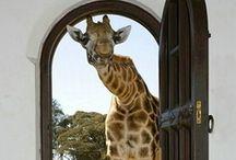 Giraffe Okapi ao