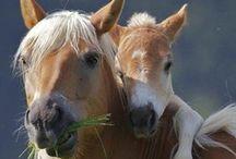 Stallions & Mares