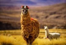 Lama, alpaca & relatives