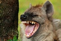 Hyena & Wild Dogs