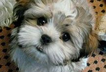 Shih Tzu / In Memory of Phoebe and Bentley- Shih Tzu rescues welcome on this board!   If you would like to join this board please send me a pin letting me know you want an invitation! :)