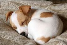 Jack Russell Terriers / Jack Russell rescues welcome on this board!  If you would like to join please send me a pin requesting an invitation! Thanks! :)