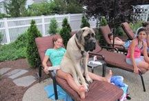 Mastiffs / Mastiff rescues welcome on this board and feel free to invite your friends!  The more exposure for the babies the better!! Thanks everyone!! :)