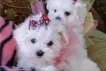 Maltese / Rescues for Maltese welcome on this board and please invite your animal loving friends!  God bless you!!