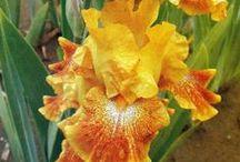 Iris gallery / Iris flower