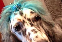 Daphne's Daphisms - English Setter at The UpScale Tail, Pet Grooming Salon, Naperville / This is Daphne, the English Setter. Daphne is always willing to give advice ;-) www.theupscaletail.com