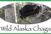 Chaga / Board dedicated to information on collection, cultivation and consumption of the chaga mushroom.