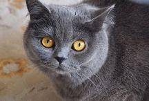 Elma_theCat British Shorthair / The Elma Cat, British Shorthair  Elma (@elma_thecat) • Instagram fotoğrafları ve videoları