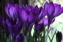 Blumen: Krokusse