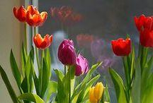 Blumen: Tulpen