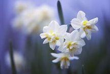 Blumen: Narzissen