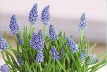 Blumen: Traubenhyazinthen / (Muscari)