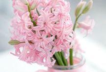 Blumen: Hyazinthen