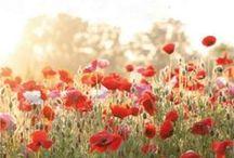 Blumen: Mohne