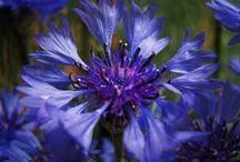 Blumen: Kornblumen