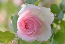 Blumen: Rosen