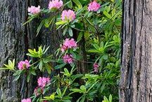 Rhododendrons of the north coast / Wild and cultivated rhododendrons in Fort Bragg and surrounding areas