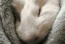 Cavia / hamsters / Cavia's / hamsters  Guinea pig / hamster