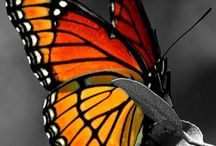 Butterfly's / Please pin only beautiful pictures of BUTTERFLIES!