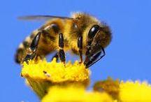 Včelky / apis mellifera, včela medonosná, honeybee