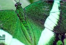 Butterfly Rainforest: Green / The Florida Museum's Butterfly Rainforest is a 6,400-sq.ft. screened, outdoor enclosure with subtropical plants and hundreds of living butterflies. The butterflies listed in this guide are organized by color and represent the more than 150 Lepidoptera species displayed in the Butterfly Rainforest, which houses between 60 and 80 species at any given time. Because some butterflies are seasonal, the species in the exhibit change throughout the year.