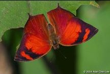 Butterfly Rainforest: Red / The Florida Museum's Butterfly Rainforest is a 6,400-sq.ft. screened, outdoor enclosure with subtropical plants and hundreds of living butterflies. The butterflies listed in this guide are organized by color and represent the more than 150 Lepidoptera species displayed in the Butterfly Rainforest, which houses between 60 and 80 species at any given time. Because some butterflies are seasonal, the species in the exhibit change throughout the year.