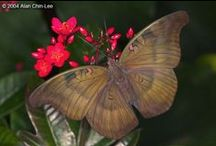 Butterfly Rainforest: Brown / The Florida Museum's Butterfly Rainforest is a 6,400-sq.ft. screened, outdoor enclosure with subtropical plants and hundreds of living butterflies. The butterflies listed in this guide are organized by color and represent the more than 150 Lepidoptera species displayed in the Butterfly Rainforest, which houses between 60 and 80 species at any given time. Because some butterflies are seasonal, the species in the exhibit change throughout the year.