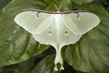 Butterflies & Moths (Lepidoptera) / A collection of our favorite images from fellow pinners around the world.