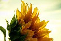Sunflowers ♥ / by Lanie Jax