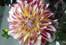 Dahlias / by Mariam Weisel