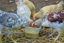 chickens and coops / by Nancy Gunden