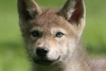 wolf puppies / keep on howling