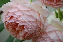 Rosa, regina dei fiori.