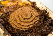 Social Australian Native Bees / Stingless Social Bees   www.beeyourself.com.au
