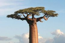 TREES n HOUSES / My great grandma wazz from Madagascar yet and my favorite trees are there... And they are awesome.