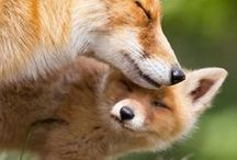 FOXES / KINDS OF FOXES.