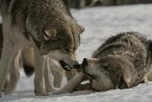 Wolfs. Lupi