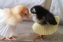 Chickens  / Chicken Stuff
