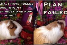 Share Anything Guinea Pig Here / This is a shared board for you to pin with me!  I've invited everyone who follows me to pin here.  Anything you think is interesting and guinea pig related, pin it here for others to see.  :)