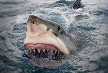 Shark week ALL YEAR LONG