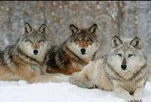 Wolf Is In Every Dog / Every Dog has a little wolf in them. Dogs came from wolf