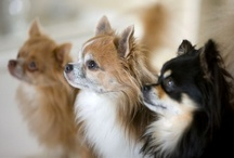 Cape May Dogs 4 Chihuahuas  / Tiny Dogs with Big Personalities.. Love 4 Chihuahua