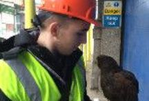 Bird control using Hawks and Falcons. / Flying our Hawks and Falcons on Bird control projects.