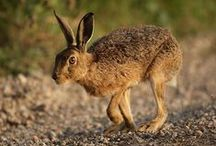 Hares / Hares, not rabbits.