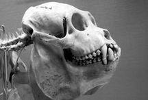 _Photo Anatomy - Animal Bones Skull
