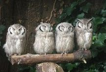 Owls / The most feared, but to me .....the most beautiful of all the feathered  predators. (Africans are afraid of Owls because many believe Owls are harbingers of death)