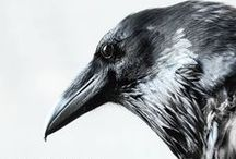 ✴ Crows & Ravens ✴ / #crow #crows #raven #ravens