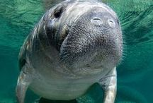 Manatees / The gentle sea cow & also thought to be a mermaid in folklore. #manatee