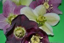 Hellebore (Family Ranunculaceae) / Commonly known as hellebores, members of the genus Helleborus comprise approximately 20 species of herbaceous or evergreen perennial flowering plants in the family Ranunculaceae, within which it gave its name to the tribe of Helleboreae